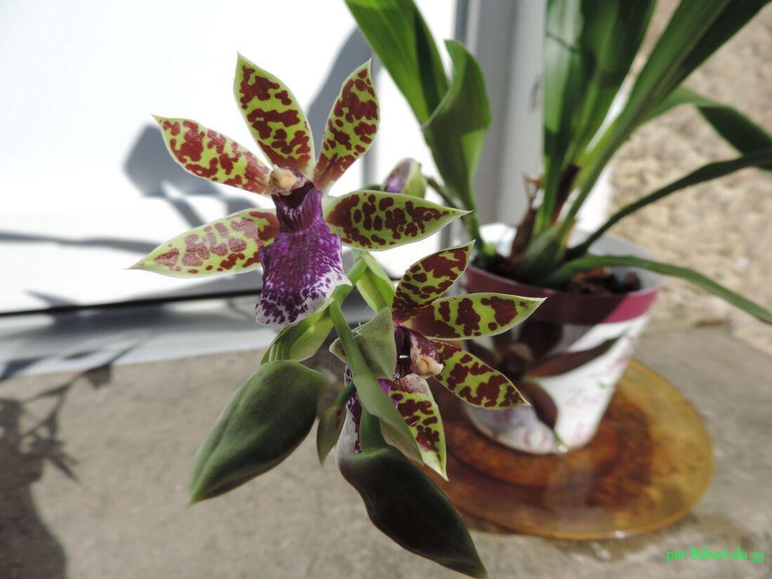 notre orchidée  Lansbergen