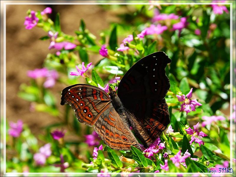 Papillon endémique de Madagascar : le Junonia goudoti - Nosy Be - Madagascar