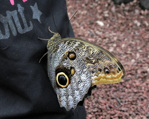Caligo beltrao( papillon Hibou)