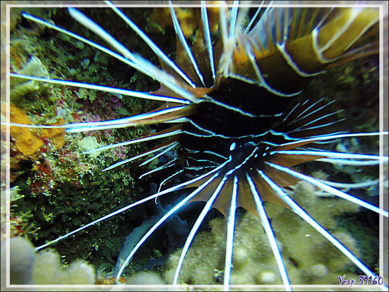 Poisson-diable rayonné ou Pterois à antennes, Rascasse volante rayonnée, Spotfin lionfish (Pterois radiata) - Nosy Mitsio - Madagascar