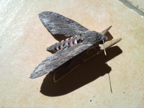 Papillon non identifié....
