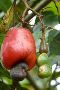Anacadier - Noix de Cajou - Guyane