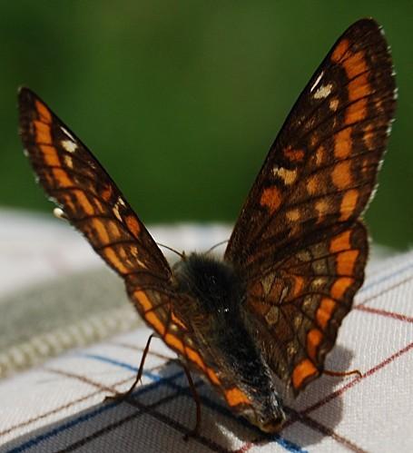 Euphydryas maturna - Damier du frêne 1