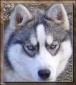 Tête de sibérian husky