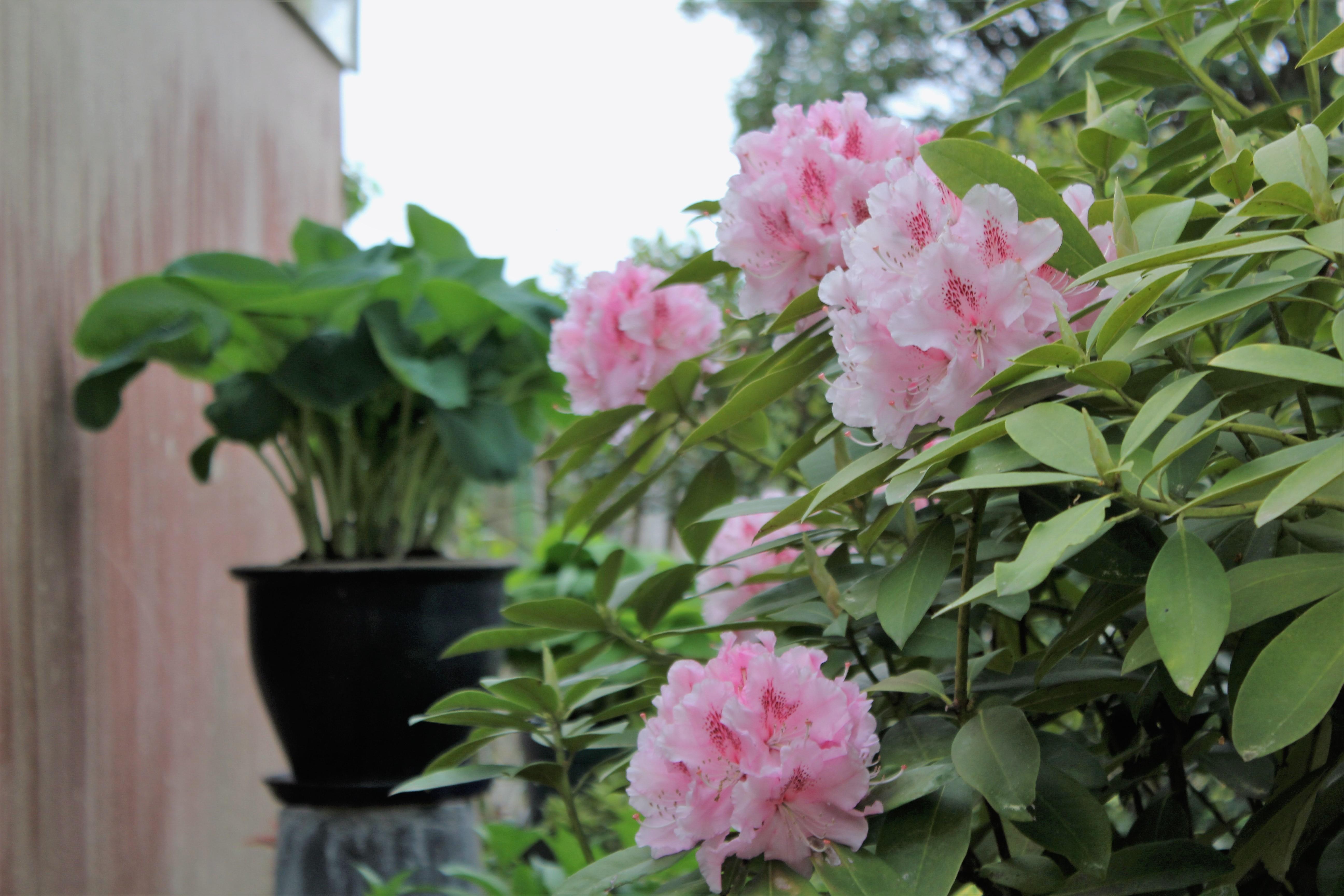 rhododendron 'Dr Albert Schweizer'