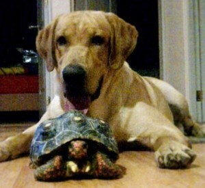 https://commons.wikimedia.org/wiki/File:A_dog_Labrador_with_Red-Footed_Tortoise.jpg