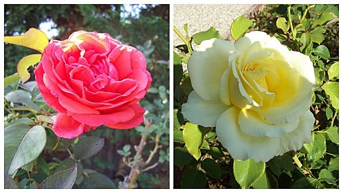 2 roses le 2 août 2011