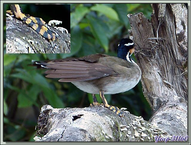Blog de images-du-pays-des-ours : Images du Pays des Ours (et d'ailleurs ...), Grébifoulque d'Amérique (Heliornis fulica) - Tortuguero - Costa Rica