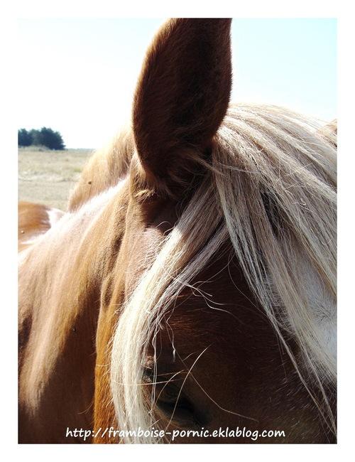 Les chevaux du Marais de Lyarne
