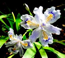 L'iris du Japon