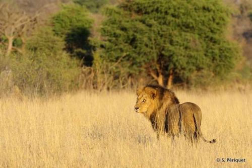 Capturing Togo the lion