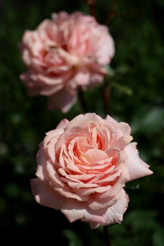 Les Roses de Warren : Lipstick Pink