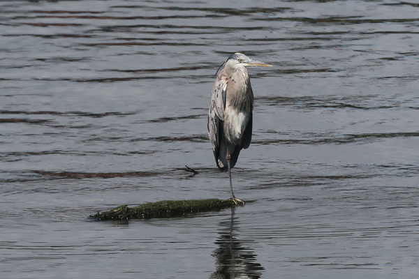 Great blue Heron - Long Beach