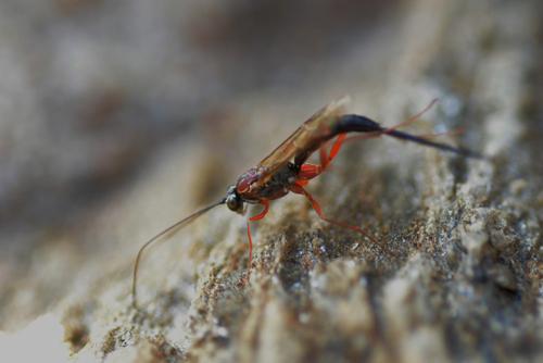 Ichneumon promissorius  femelle