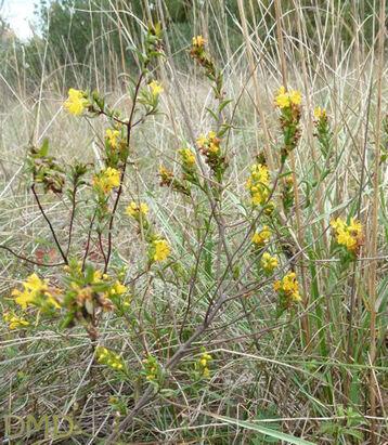 Odontites luteus - odontite jaune