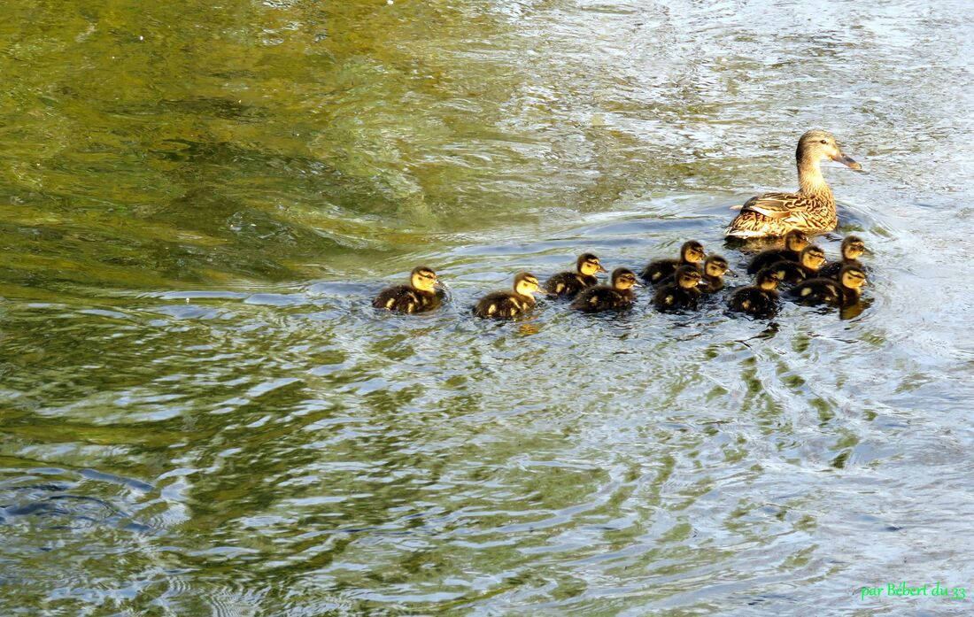 une famille canard