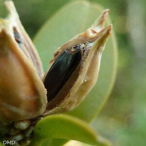 Buxus sempervirens - buis