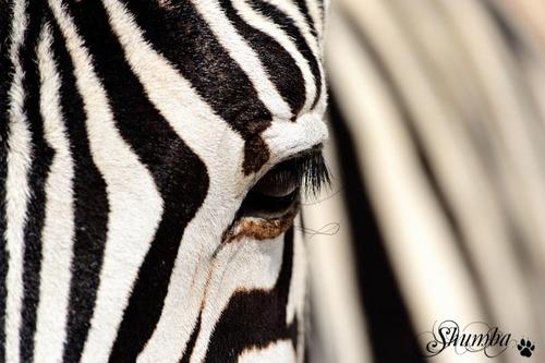 Etosha stripes