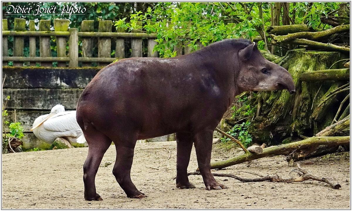Zoo des Sables d'Olonne (1) - Tapir Terrestre
