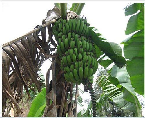 Origine et histoire de la banane