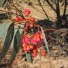 471 Maroc Fleurs d\'eucalyptus