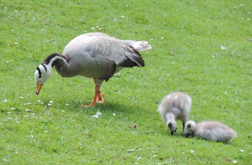 Oiseaux sauvages : nouvelles générations...
