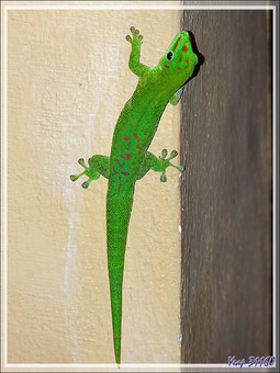 Gecko géant de Madagascar (Phelsuma madagascariensis grandis) - Nosy Be - Madagascar