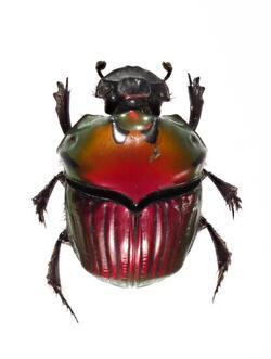 Inventaire des coleoptères Guyane Juillet 2017