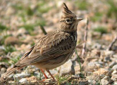 Liste rouge des Oiseaux nicheurs du Languedoc-Roussillon