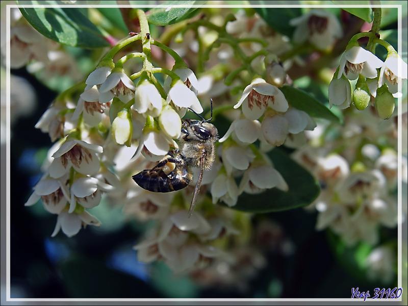 Fleur indéterminée et son abeille - Camps Bay - Cape Town - Afrique du Sud