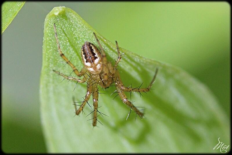 Araignée : Mangora acalypha