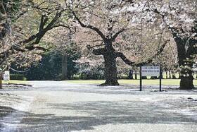桜 か 梅 か。 Cerisier ou prunier ? par Ilona L.