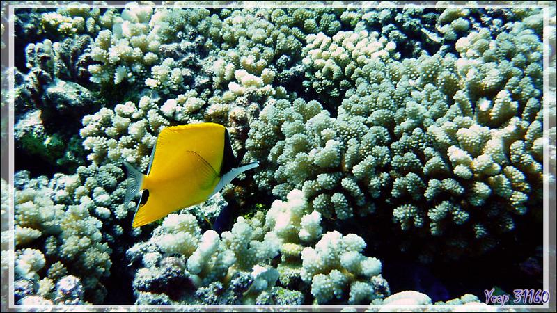 Poisson-pincette jaune ou Chelmon à long bec, Longnose butterflyfish (Forcipiger flavissimus) - Tumakohua (passe sud) - Atoll de Fakarava - Tuamotu - Polynésie française