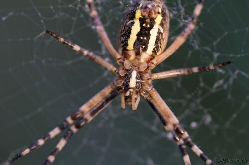 Araignée Argiope frelon (Argiope bruennichi)