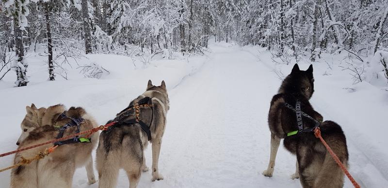 chiens des glaces en scandinavie