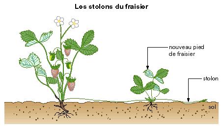 S ance 2 la reproduction asexu e chez les v g taux cm for Decoration d un fraisier