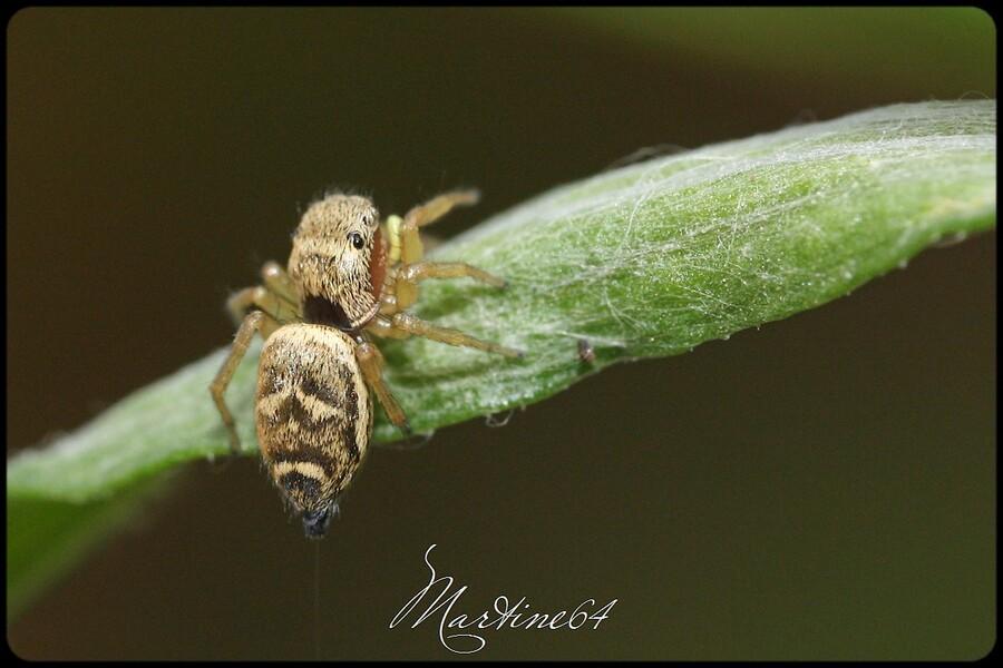Araignée : Héliophanus tribulosus