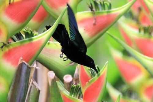 Colibri Falle-vert (Green-throated Carib)