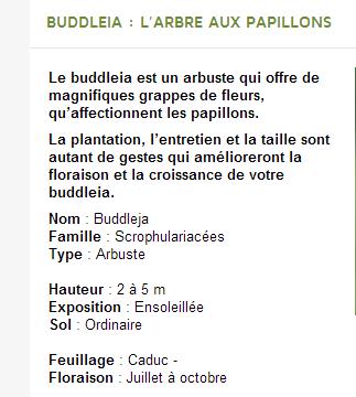"""* Le BUDDLEIA :* appelé """" ARBRE à PAPILLONS"""""""