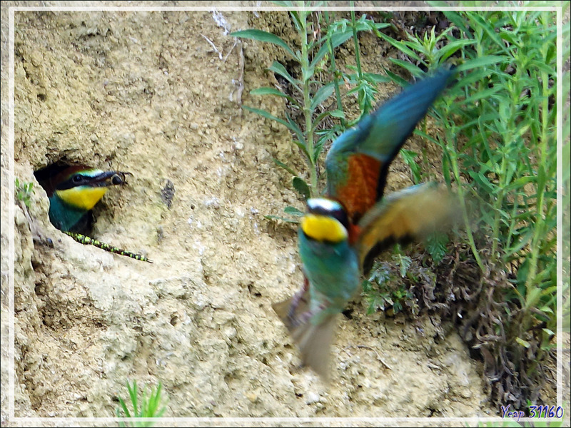 Guêpier d'Europe, European Bee-eater (Merops apiaster) - Rouède - 31