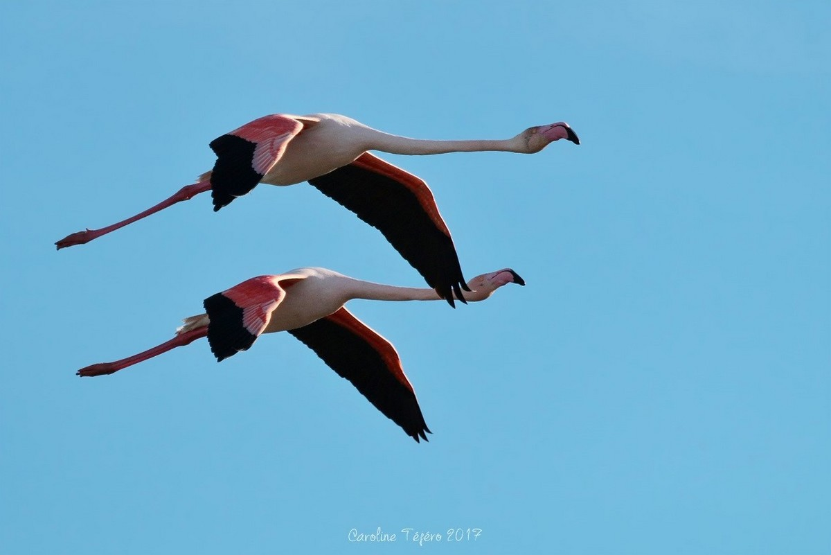 Flamants roses en vol