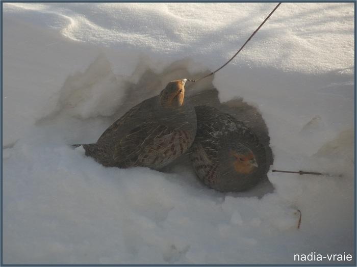 Petites hirondelles dans la neige et le froid.