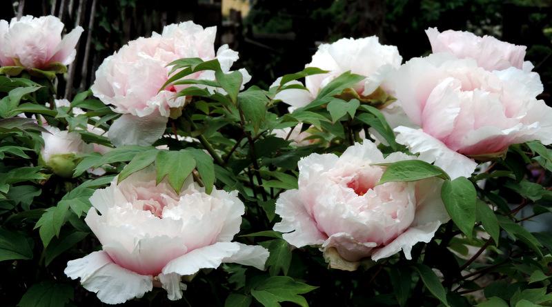 Pivoine arbustive en fleurs...