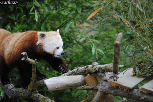 Panda Roux ♀.