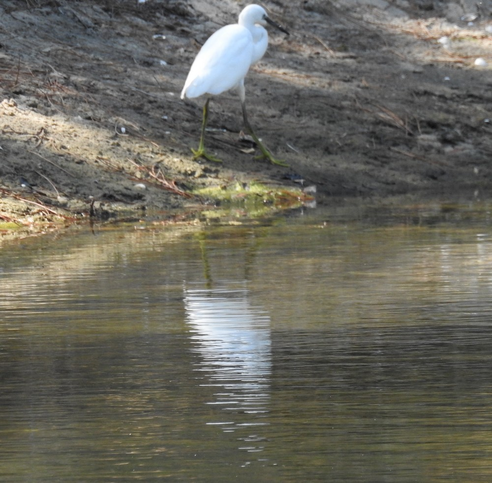 Balade aux Réservoirs de Piraillan : canards et aigrettes...