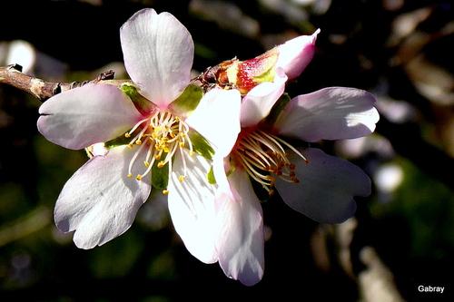 Les fleurs d'amandier