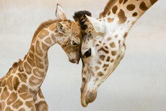 Photos de Famille Girafe et Girafon
