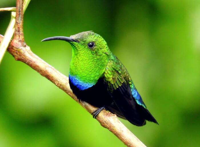 Ti'colibri falle vert.