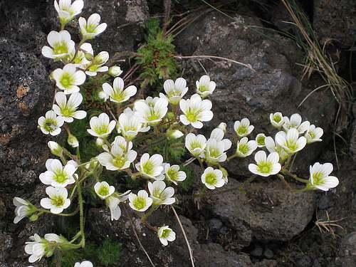 Vertus médicinales des plantes sauvages : Faxifrage
