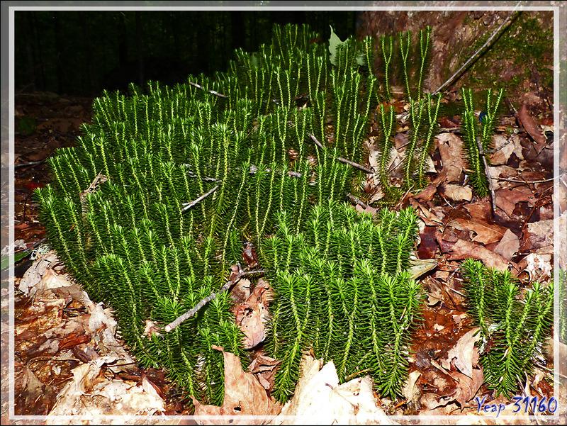 Huperzie brillante, Lycopode brillant, Shining firmoss (Huperzia lucidula) - Petit Lac Preston - Duhamel - Outaouais - Québec - Canada